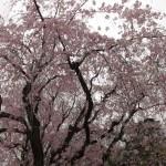 假屋崎省吾のビジネスで生きる感性、桜や花見好きな日本人としての魂